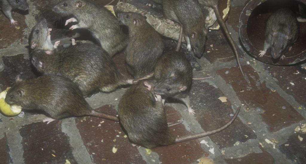 уничтожение крыс в Реже
